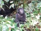 Ako zastrašuje gorila protivníka?