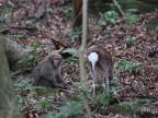 Japonský nadržaný makak sprznil laň
