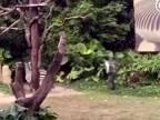 Zebra si ho zobrala do kríčkov!