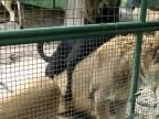 Lev sa nenechal vyrušovať! (Argentína)