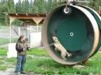 Koleso pre hyperaktívnych psov