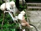 Drsný boj o rebrík