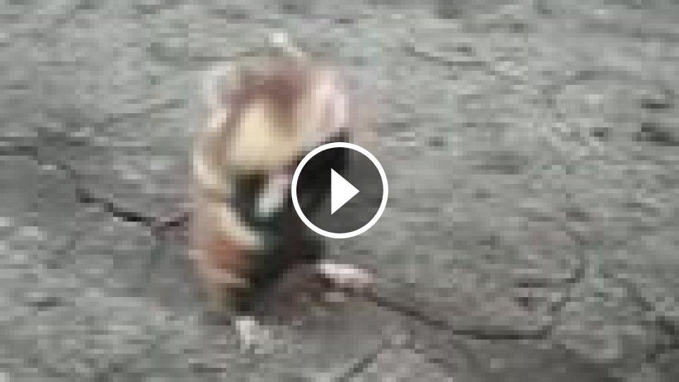 Škrečok videá