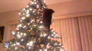 Mačky vs. vianočné stromčeky