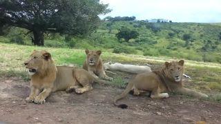 Prekvapenie na safari (Južná Afrika)
