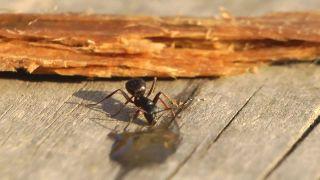 Mravcovi zachutila domáca pálenka (Rusko)