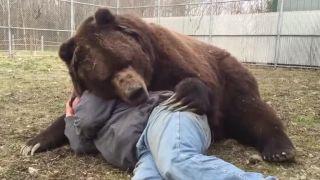 Poobedná siesta s obroským medveďom hnedým