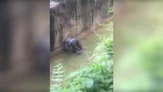 Chlapček vliezol do výbehu gorily (USA)