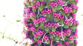 Echium wildpretii - nádherný tenerifský hadinec