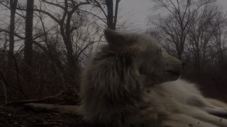 Zavýjanie najlenivejšieho vlka na svete (USA)