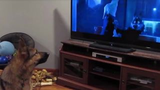Nemecký ovčiak pozerá animák Zootopia