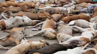 Viac ako 1000 otrávených túlavých psov (Pakistan)
