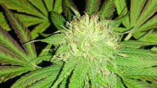 Z denníku pestovateľa marihuany