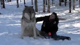 Prišla navštíviť svoje obrovské vlky