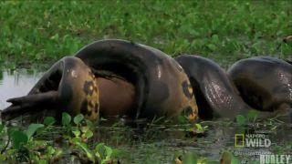 Anakonda zelená - najobávanejší predátor Južnej Ameriky