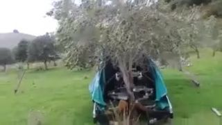 Ako obrať olivy do posledného plodu?