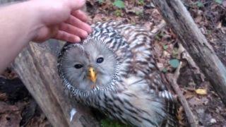 Na hubách natrafil na zranenú sovu (Slovinsko)