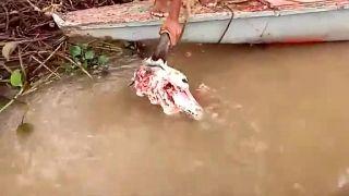 Kŕmenie piraní kravskou hlavou (Venezuela)