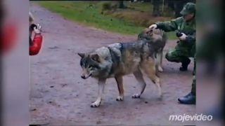 Tá sa s vlkmi nebabre! (dvojnohá alfa samica)