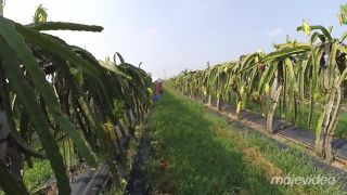 Ako vyzerá plantáž dračieho ovocia - pitahaya