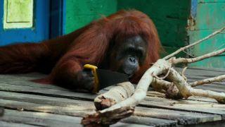 Ako naučiť orangutana píliť?
