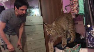 Keď máš v dome rysa ako domáce zvieratko (Rusko)