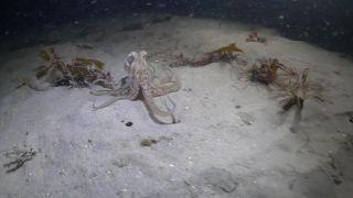Chobotnica si chcela pochutnať na krabovi