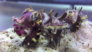 Volajú ich podmorské hrochy (Metasepia pfefferi)