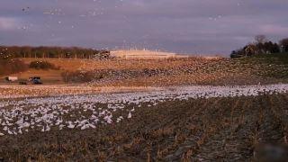 Keď ti pole pohnoja migrujúce husi snežné (USA)
