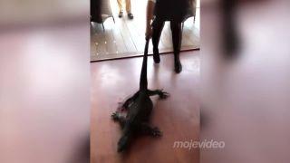 Čašníčka sa s jašterom nemaznala (Austrália)