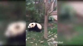 Prečo sú pandy ohrozené? (Čína)