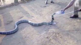 Keď je kobra nervózna, treba jej dať napiť (India)