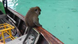 Turistov navštívila opitá opica (Thajsko)