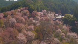 Keď kvitnú v Japonsku čerešne