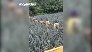 Ľudská zberná linka na ananásy