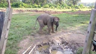 Sloníča sa zľaklo malej kozičky (Nepál)
