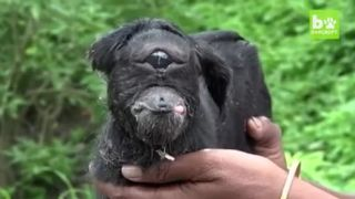 V Indii sa narodilo kozľa - kyklop