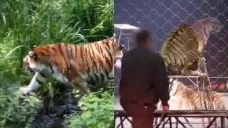Život tigra.. príroda vs. cirkus