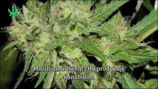 Marihuana a rakovina