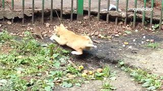 Drzý potkan vs. trpezlivá mačka