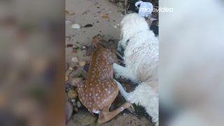 Retriever zachránil mláďatko jeleňa pred utopením