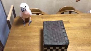 Papagáj a záhadná škatuľa (thug life)