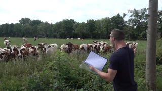 Ako hlboko zapôsobiť na stádo kráv?