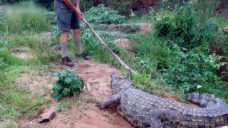 video Nedráždi krokodíla suchou palicou!