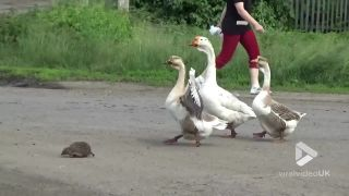 Ježka eskortovali cez cestu husy
