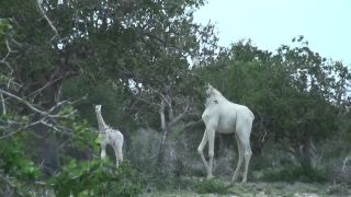 Vidieť bielu žirafu je rarita