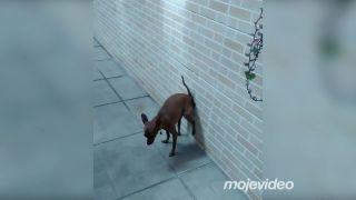 Mimoriadne neslušný pes