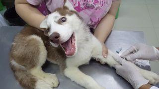 Prvýkrát u veterinára so sibírskym husky