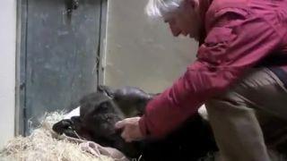 Posledná rozlúčka ošetrovateľa so šimpanzom (Holandsko)